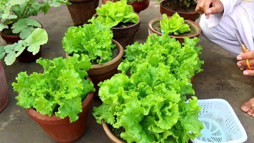 leafy green salads in pot