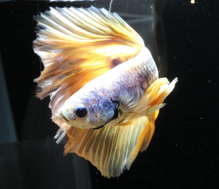 Image Yellow Betta Fish Choices