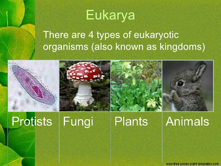 Domain Eukarya Single Celled Or Multicellular Organisms Which Have A Nucleus And Mem Ne Bound Organelles