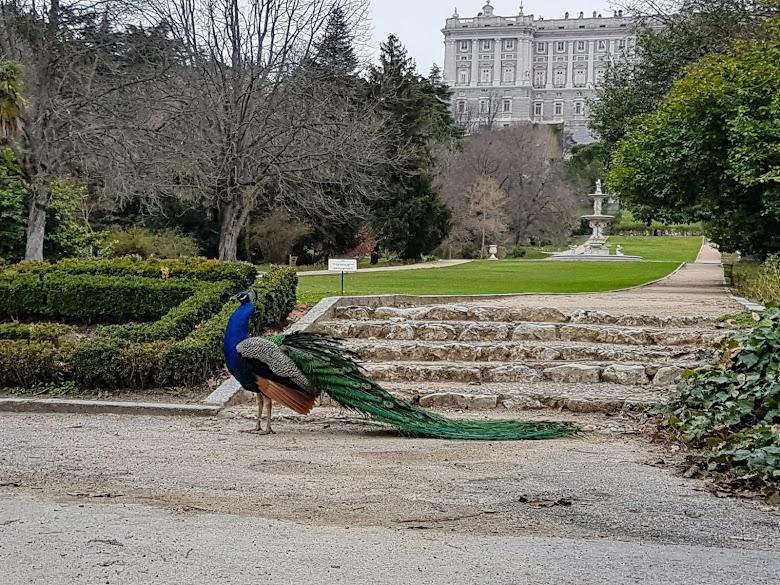 花園內的孔雀,太接近會很生氣