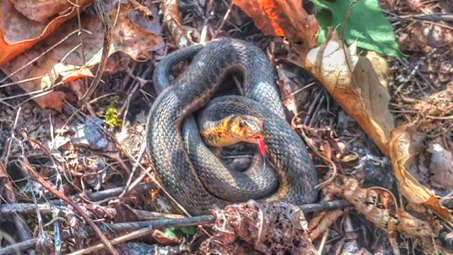 Garter Snake Coiled and Flicking Tongue