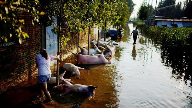 Babi-Babi dan Ayam Ternak Pada Mati Terdampak Banjir di China
