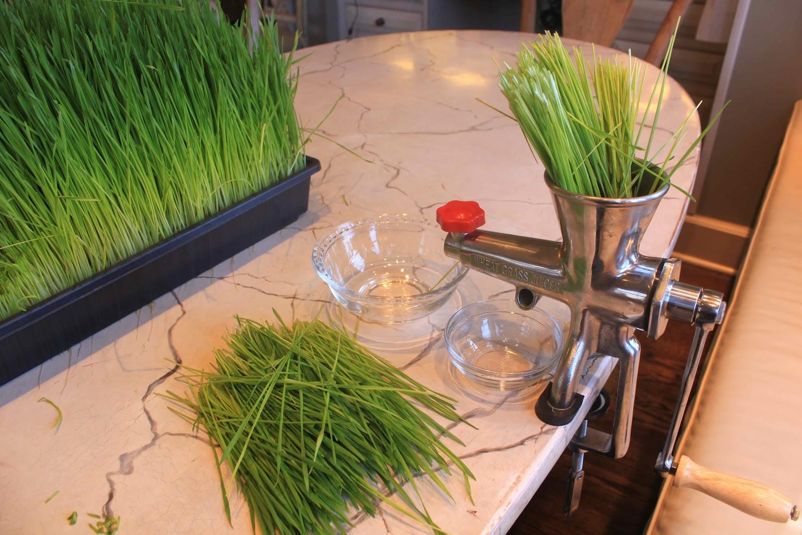 European Cutie Shots Shots Shots Healthy Wheatgrass