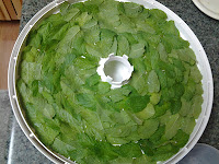 Laying out mint leaves in the dehydrator.