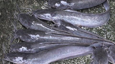 Pembenihan Ikan Keli