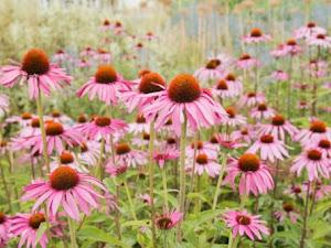 Mengenal Echinacea Purpurea, Tanaman Herbal yang Berkhasiat Untuk Tubuh