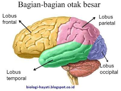 bagian-bagian Otak Besar