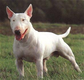 Bull terrier pelo corto