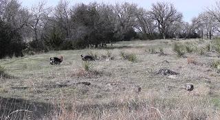 strutting rio turkeys