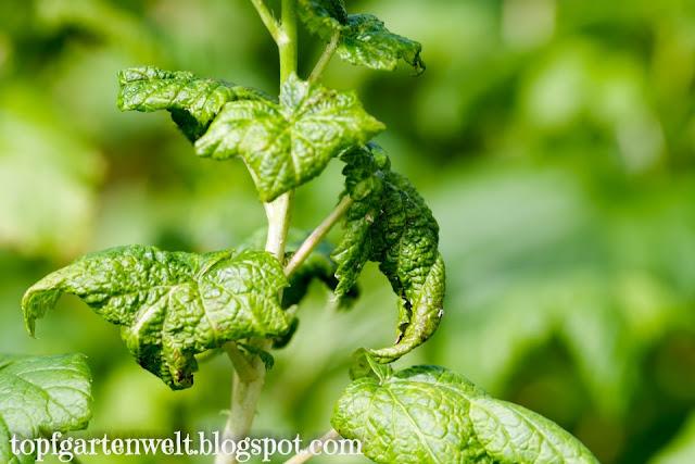 Schadbild Blattläuse | gekrümmte Blätter - Gartenblog Topfgartenwelt
