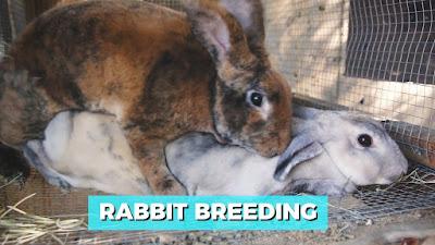 cara mengawinkan kelinci