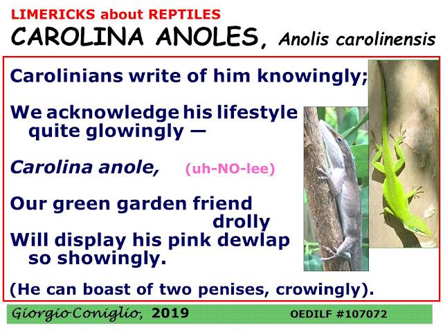 limerick; reptiles; green anole; Anole carolinensis; sexual anatomy; Giorgio Coniglio