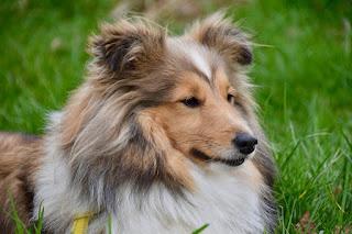 كلب الراعي الشتلندي  SHETLAND SHEEPDOG