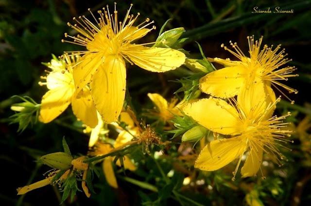 Fiore di San Giovanni