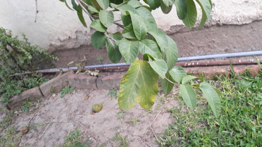 hojas corazon