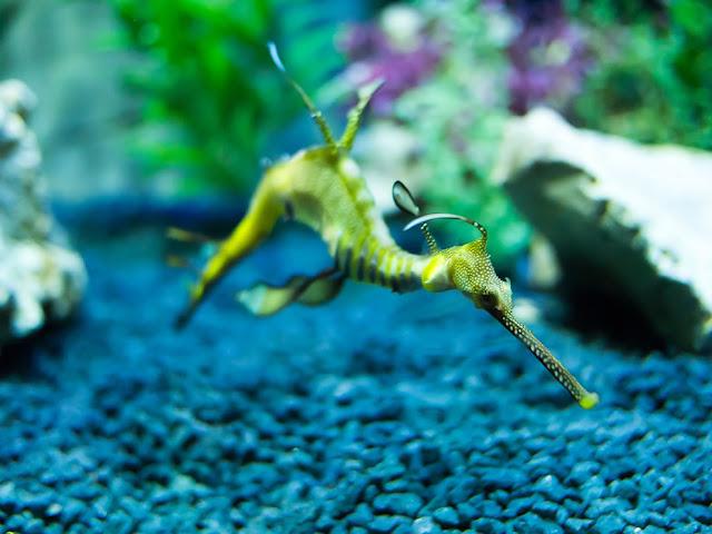 Weedy Sea Dragon (Phyllopteryx taeniolatus),