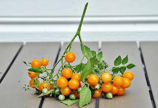 http://tomatprat.blogspot.no/2015/08/millefleur-en-multiflora-tomat.html