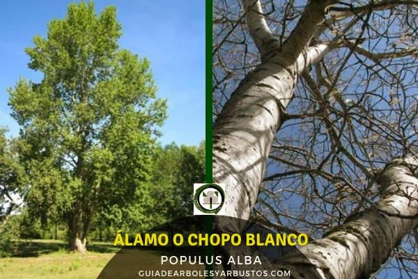 El árbol chopo blanco o álamo, Populus alba, género Populus, puede alcanzar los 30 mts. de altura