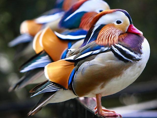 """المندرين """"""""""""اليوسفي """"""""""""لله mandarin-ducks-national-zoo_12668_990x742.jpg"""