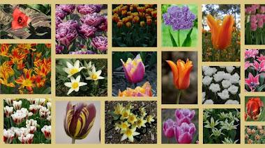 Clasificando los Tulipanes