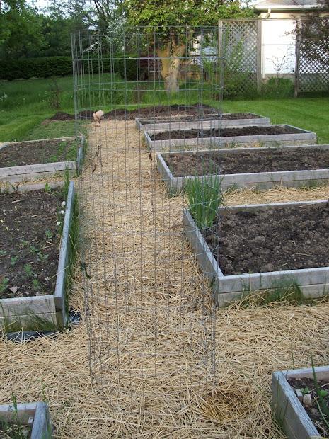 Green Zebra Market Garden Make Sturdy Tomato Cages