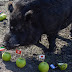 Mystic Pig with 100% success rate predicts Nigeria will make it to the World Cup finals