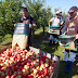 Apple Pickers Needed In Canada