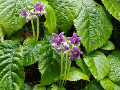Iwa-tabako (Conandron ramondioides) flowers: Tokei-ji