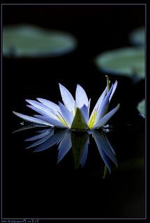 Gambar Bunga Teratai Terindah di Dunia 5