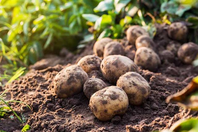 اهم طرق زراعة البطاطس How-to-Grow-Potatoes-Cover