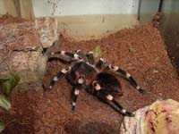 Tarantula Türleri