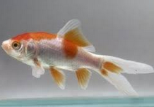 Cara Merawat Ikan Komet di akuarium