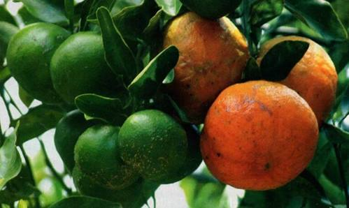 Perkebunan jeruk siam