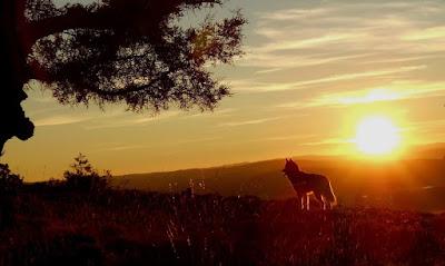 Silueta de lobo contra puesta de sol