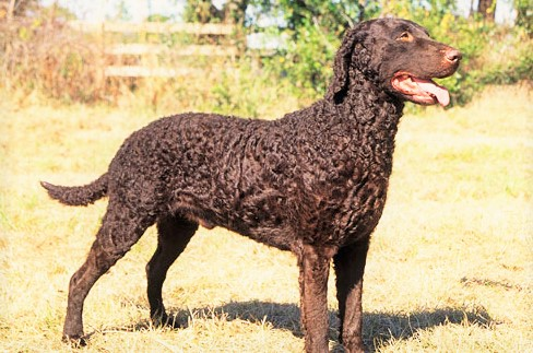 Curly-Coated Retriever www.worldetalk.com