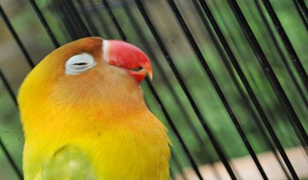 lovebird dada nyilet