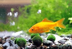 Ikan Hias Tanpa Oksigen