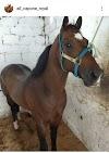 Piritiba: acidente com campeão Al Capone preocupa amantes de corrida de cavalo