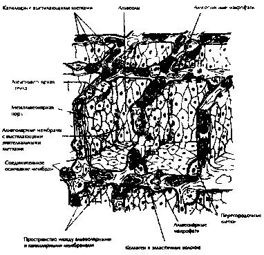 Рис.17. Тонкая структура воздушных пузырьков в легких. Показаны мембраны, через которые идет газовый обмен между воздухом и кровью