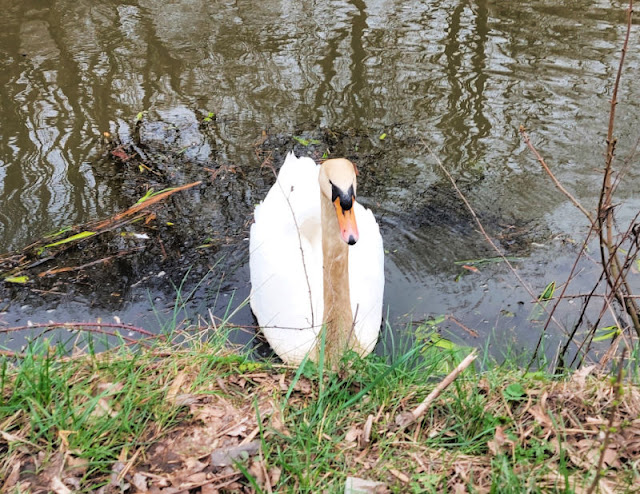 A large white swan at the canal bank