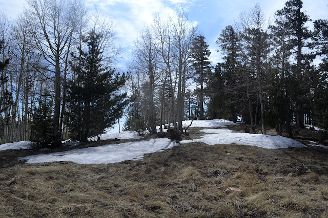 aspen among pines on the ridge