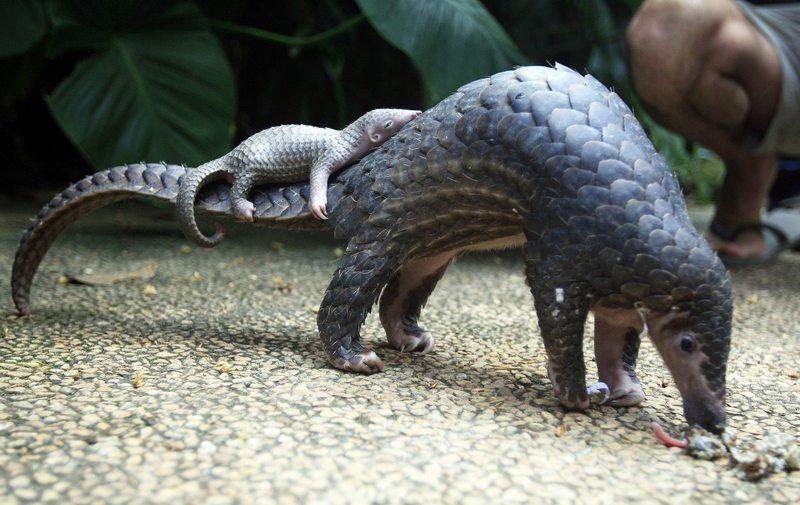 Las curiosidades que tiene el pangolín, el mamífero con escamas que pretende salvar Leonardo DiCaprio