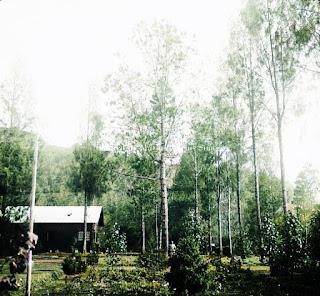 reboisasi pohon pinus