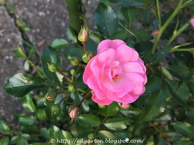 Rosen im Naturgarten
