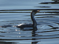Cormorant off Murrays Beach (Lake Macquarie, NSW, Australia)