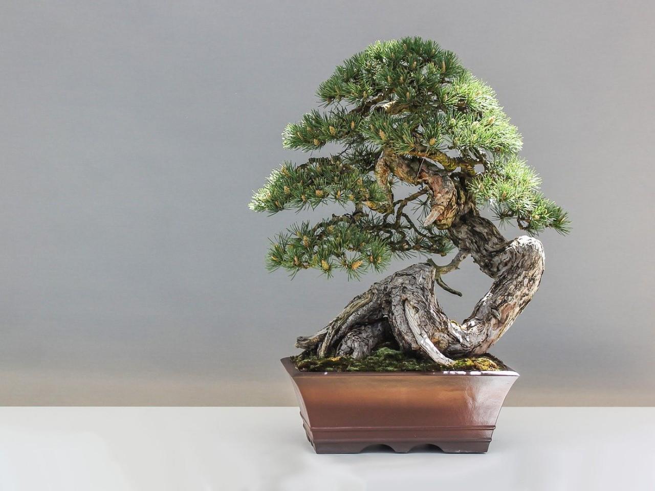 membentuk-bonsai-untuk-pemula.jpg