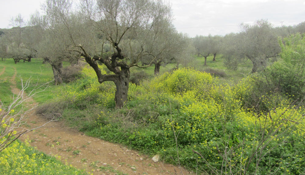 Olivenbäume-Parcelle