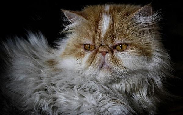 Contoh gambar kucing persia Peaknose