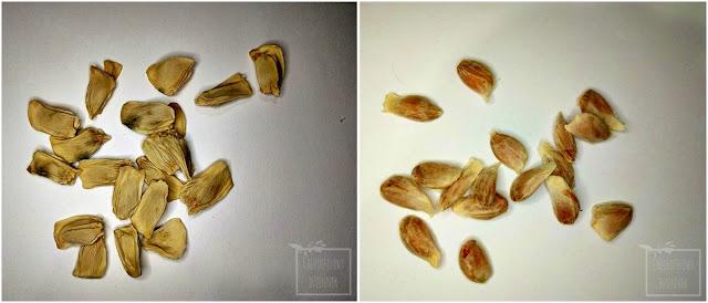 Pomelo (Citrus maxima), czyli pomarańcza olbrzymia, uprawa z nasion, kiełkowanie, siew. Jak wysiać pomelo z pestki? Jak siać pomelo z nasion? Uprawa i hodowla pomarańczy olbrzymiej, jak kiełkuje ile, jak długo kiełkuje małe pomelo? Shaddock, szadok, od nasiona. Owoc z nasionami, jak wygląda. Instrukcja siewu krok po kroku, łatwy siew, sprawdzony sposób na wysiew pomelo.
