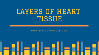 layers of the heart tissue